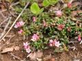Loiseleuria procumbens – piękny arktyczny element flory Islandii. Fot. Paweł Wąsowicz
