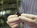 Karaczany madagaskarskie mają ostre kolce na odnóżach i złapane nieostrożną ręką mogą nawet przebić naskórek do krwi. Fot. Uniwersytet Śląski