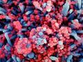 Kolorowa skaningowa mikrografia elektronowa komórki (kolor niebieski) silnie zakażonej wirusem SARS-CoV-2 (kolor czerwony), wyizolowanej z próbki pacjenta | Image credit: NIAID