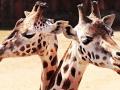 Dwie żyrafy obok siebie patrzą w obiektyw kamery