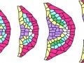 Model wzrostu korzenia bocznego Arabidopsis thaliana | oprac. Joanna Szymanowska-Pułka