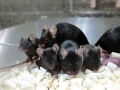 Grupa czarnych myszy - kolejne pokolenie kosmicznych myszy, urodzonych w październiku 2020; źródło - University of Yamanashi/Phys.org