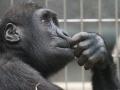 Szympans. Źródło: domena publiczna - Pexels.com