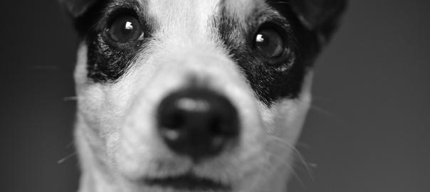 Pies rasy Jack Russell terrier patrzący prosto w obiektyw