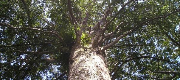Współczesne drzewo kauri - agatis nowozelandzki. Źródło: domena publiczna - Pixabay.com