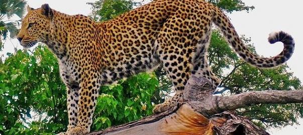 Lampart afrykański. Źródło: Autorstwa https://www.flickr.com/photos/edglickman/ edg1 - https://www.flickr.com/photos/edglickman/2533919301/sizes/o/, CC BY 2.0, https://commons.wikimedia.org/w/index.php?curid=7577457