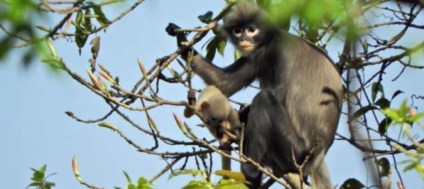 Dorosła samica i młode langura z Puppa (Trachypithecus popa). Photo: Thaung Win. Źródło: https://www.dpz.eu/